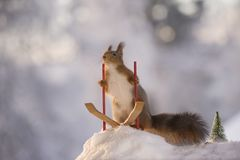 Red squirrel holding ski rods standing on skis Royalty Free Stock Image