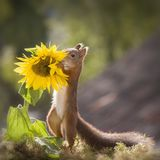 Red squirrel holding a sunflower Royalty Free Stock Image