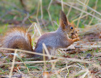 Red squirrel holding walnut Stock Photos