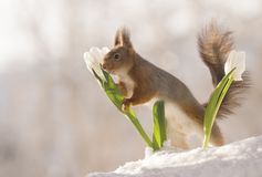 Red squirrel holding a white tulip in the snow. Red squirrel is holding a white tulip in the snow Royalty Free Stock Images