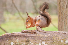 Red squirrel holds a nut in paws and sniffs it Royalty Free Stock Photo
