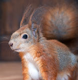 Red squirrel at home Royalty Free Stock Photo