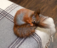 Red squirrel in the house Royalty Free Stock Image
