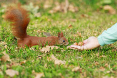 Red squirrel and human hand. Royalty Free Stock Image
