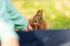 Red squirrel and human. Royalty Free Stock Photography