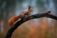 Free Red Squirrel In A Forest Stock Photography - 108110342