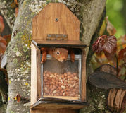 Red Squirrel inside peanut feeder Stock Image