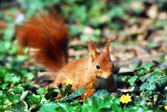 Red squirrel in ivy Stock Photo