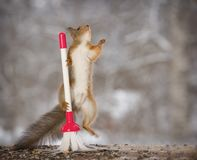 Red squirrel jumping with a brush. Red squirrel is jumping with a brush Stock Photo