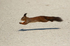 Red squirrel jumping Stock Photos