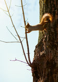 Red squirrel jumping on a tree branch Stock Photo