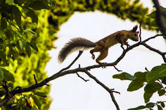 Red squirrel jumping on a tree branch. A red squirrel scours on the branches of a tree Stock Image