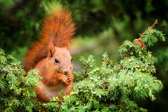 Red squirrel in juniper tree Stock Image