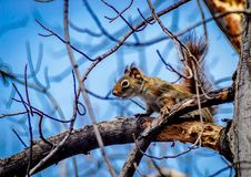 Red squirrel juvenile foraging in old growth maple tree with blue sky background.. Red squirrel juvenile foraging in old growth maple tree eastern prairie early Stock Photos