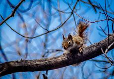 Red squirrel juvenile foraging in old growth maple tree with blue sky background.. Red squirrel juvenile foraging in old growth maple tree eastern prairie early Stock Images