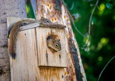 Red squirrel juvenile siblings restings in nesting box/ Royalty Free Stock Photos