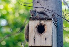 Red squirrel juvenile siblings restings in nesting box/ Royalty Free Stock Photo