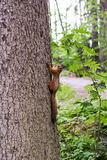 Red squirrel keeps the claws of a tree trunk Stock Image