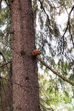 Red squirrel keeps the claws of a tree trunk Stock Photo