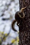 American red squirrel Tamiasciurus hudsonicus in a tree, banff royalty free stock photography