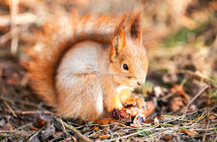 Red squirrel keeps paws bump. Beuty red squirrel keeps paws bump stock photos