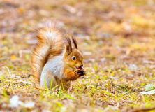 Red squirrel keeps paws nut. Red squirrel holding a nut paws in the park royalty free stock image