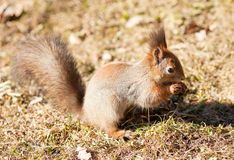 Red  squirrel keeps paws nut Royalty Free Stock Images