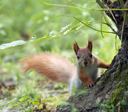 Red squirrel largely Royalty Free Stock Photography