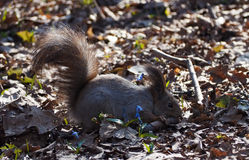 Red squirrel laying and eating something at the park Stock Images