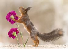 Red squirrel is leaning to a flower. Red squirrel leaning to a flower royalty free stock images