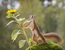 Red squirrel leaning towards a sunflower Royalty Free Stock Images