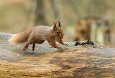Red Squirrel Leaping Stock Photo