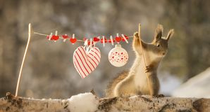 Red squirrel with a line with a heart. Red squirrel with an line with a heart Royalty Free Stock Photography