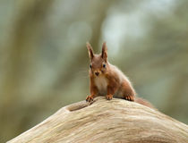 Red Squirrel on Log Stock Photo