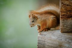 A red squirrel on a log pile royalty free stock images