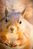 Red Squirrel looking ahead with tufted ears Stock Images