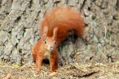 Red squirrel. Royalty Free Stock Photo