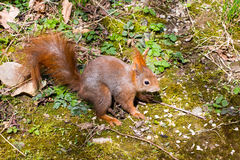 Red squirrel looking for food Royalty Free Stock Photos