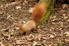 Red squirrel looking for food in park.  royalty free stock images