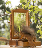 Red squirrel looking in a mirror Stock Photography