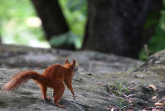 Red Squirrel looking for nuts. Red squirrel walks in the forest in search of nuts stock image