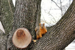Red Squirrel looking out from the crotch of a tree Stock Photos