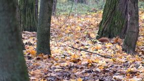 Red squirrel is looking for something in the dry fallen leaves of the autumn forest stock video footage