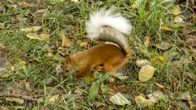 Red squirrel is looking for a stash in the fallen foliage. stock photo