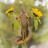 Red squirrel looking from between sunflowers Stock Image