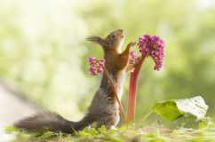 Red squirrel is looking up with an Bergenia. Red squirrel is looking up with a Bergenia Royalty Free Stock Images