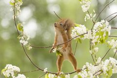 Red squirrel is looking up on a branch. Red squirrel is looking up on an branch Royalty Free Stock Photo