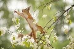 Red squirrel is looking up on an branch. Red squirrel looking up on an branch Stock Photos