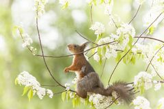 Red squirrel is looking up on flower branches. Red squirrel looking up on flower branches Royalty Free Stock Photo