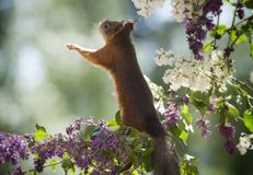 Red squirrel looking up on a lilac branch. Red squirrel is looking up on a lilac branch Royalty Free Stock Photos